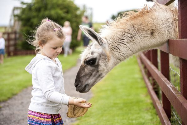 Girl feeding Llama at Tweddle Farm